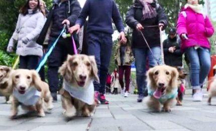 """Vestiti """"da cani"""", a Hong Kong la sfilata dei cani bassotto"""