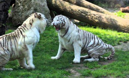 Francia, nati un rinoceronte bianco e 3 tigri a zoo di Amnéville