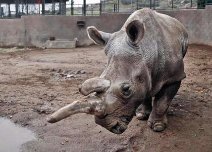 Kenya, morto ultimo maschio di rinoceronte bianco settentrionale