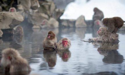 Spa per le scimmie, il bagno caldo le rilassa