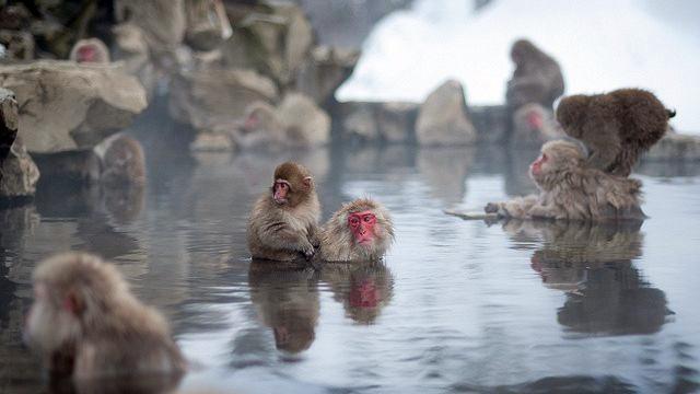 Spa per le scimmie il bagno caldo le rilassa for Bagno caldo durante il ciclo