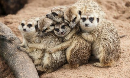 Allo Zoo di Chester il debutto di 4 dolcissimi piccoli meerkat