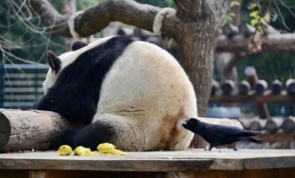 Un corvo si serve del pelo di un panda per costruire il nido