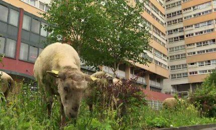 Pascolo urbano a Parigi, branco di pecore passeggia in città
