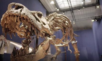 Ecco Trix, uno scheletro lungo 12,5 metri e alto 4 al Museo di Storia Naturale