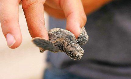 Toscana, nate a San Vincenzo 45 piccole tartarughe marine