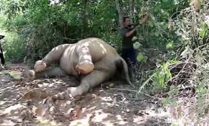 Raro elefante di Sumatra avvelenato in Indonesia