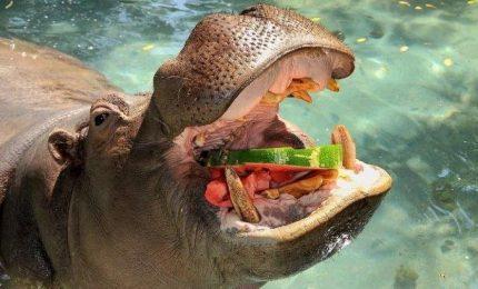 Ghiaccioli e cocomero al Bioparco, così gli animali combattono l'afa