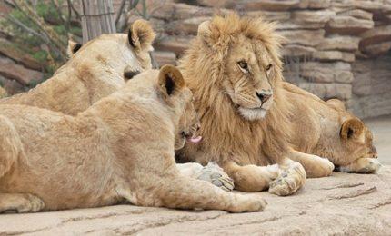 In Malawi arrivano 12 leoni, per rilanciare il turismo nei parchi