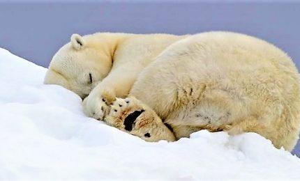 40enne ferito da orso polare nell'Artico, animale abbattuto