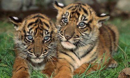 Indonesia, allo Zoo di Medan nati due teneri tigrotti