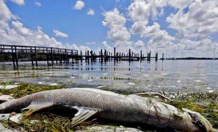 Marea rossa di alghe tossiche fa strage di pesci in Florida