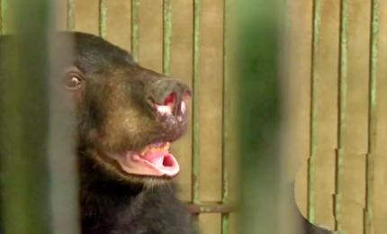 Liberati due orsi dopo 13 anni di gabbia. Si teme che molti siano stati uccisi