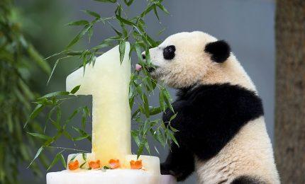 Compie un anno il primo panda nato allo zoo di Beauval in Francia