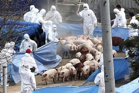 Soppressi 20 mila maiali, timori diffusione peste suina