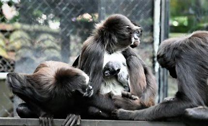 Colombia, debutta allo zoo un raro cucciolo di scimmia ragno
