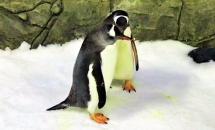 Australia, due pinguini maschi in coppia diventano genitori