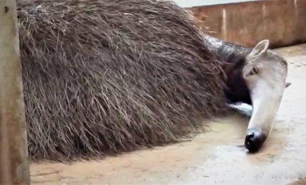 Nato nello zoo di Amnéville un rarissimo cucciolo di formichiere gigante