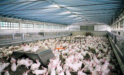 Alimentazione, 50 milioni di animali allevati in gabbia in Italia