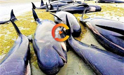 Spiaggiamento di massa di 150 balene pilota