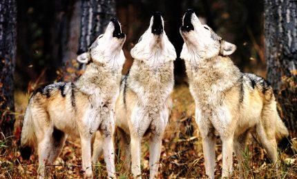 """Le immagini """"rubate"""" dei lupi ibridi nel Parco del Gran Sasso"""