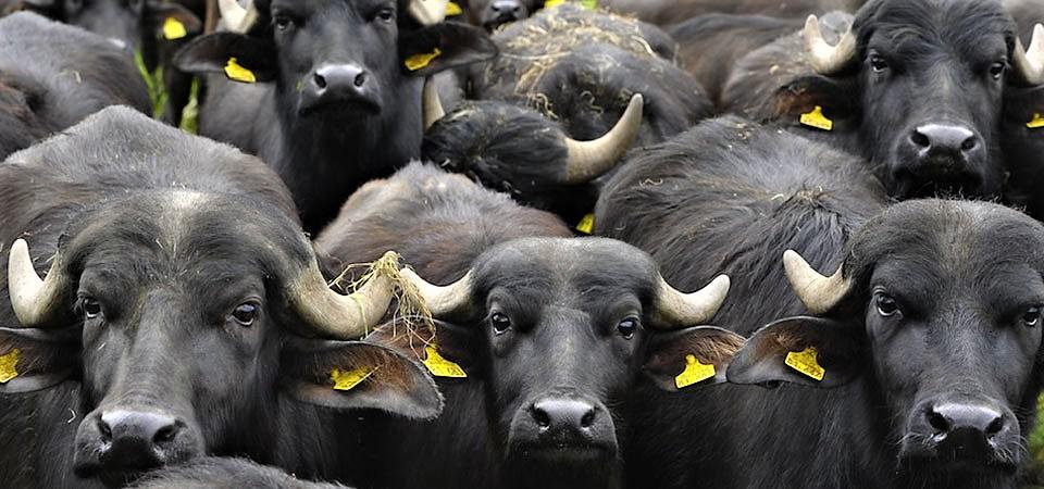 """C'è più puzza di """"bufala"""" in politica che in un mozzarellificio"""