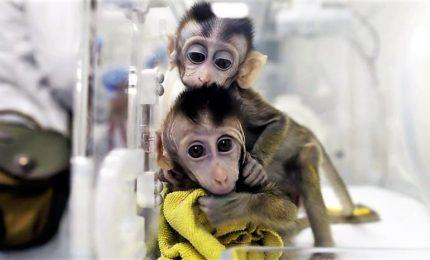 Scimmie geneticamente modificate e poi clonate