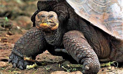Ritrovata la tartaruga gigante Chelonoidis Phantasticus
