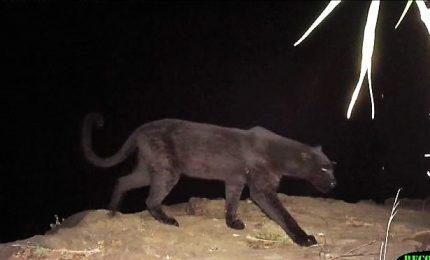 Kenya, ripreso per la prima volta un leopardo nero
