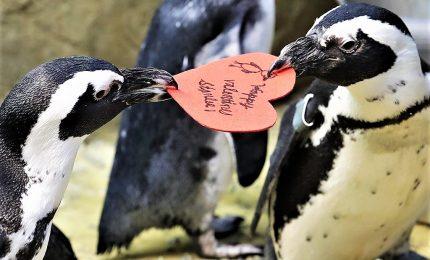 San Valentino in cova per i due avvoltoi gipeti Fabian e Julia