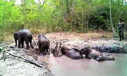 Thailandia, salvati dal fango 6 cuccioli di elefanti