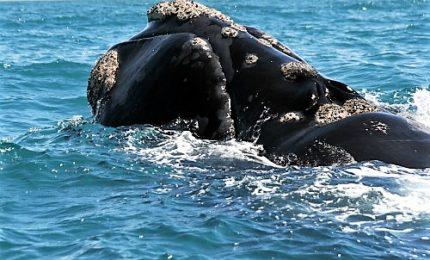 Almeno 87 feriti in collisione fra aliscafo e balena