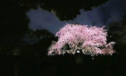 In Giappone lo spettacolo della fioritura dei ciliegi di notte