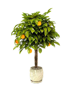 Come coltivare gli agrumi in vaso