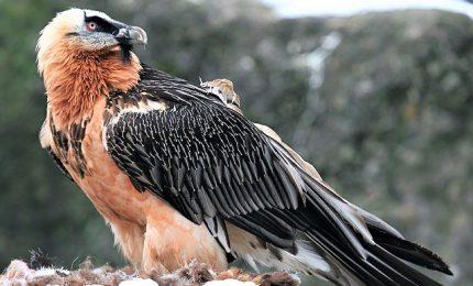 Un avvoltoio gipeto italiano ripopolerà i cieli dell'Andalusia