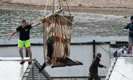 Russia, orche e beluga liberate dal carcere delle balene