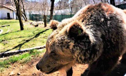 Consulta: legittime le leggi su cattura e uccisione orsi e lupi