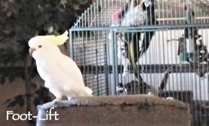 Il pappagallo cacatua ballerino fa impazzire il web