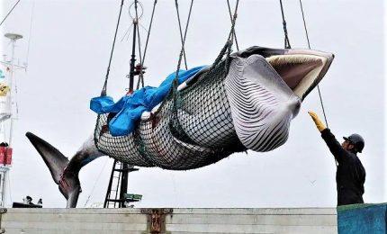 Giappone, riprende la caccia commerciale alle balene dopo 31 anni