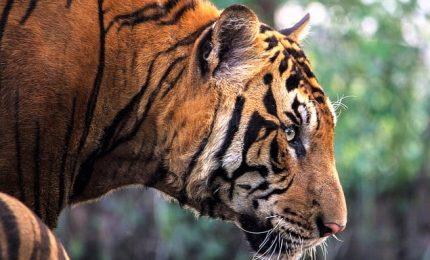 Giornata mondiale della tigre, ne restano meno di 4.000 esemplari