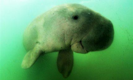 Addio Mariam, baby dugongo morta per la plastica nello stomaco
