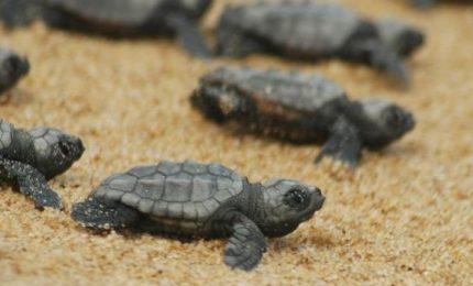 Ragusa, sulla spiaggia di Scoglitti sono nate 121 tartarughe