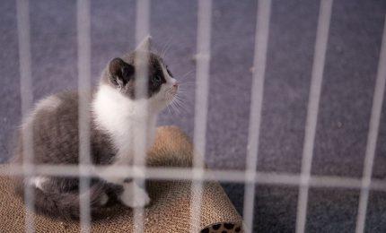 Clonato il primo gatto a scopi commerciali