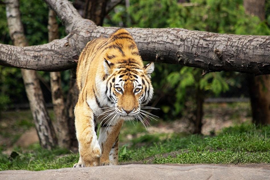 """Il """"viaggio più lungo"""" di una tigre in cerca di cibo e amore"""