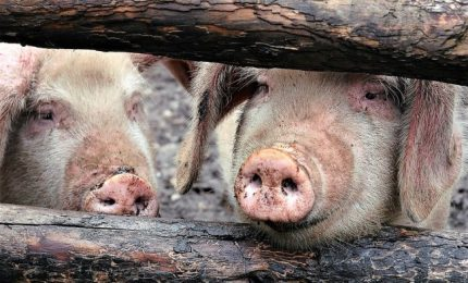 Rischio di peste suina, maxi sequestro di carni cinesi
