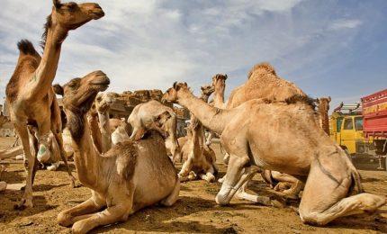 Dieci mila cammelli veranno abbattuti, attaccano aborigeni
