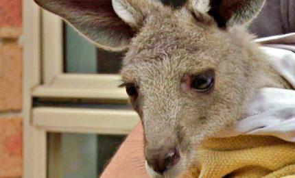 Baby canguro trovato nel marsupio della madre morente
