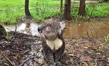 Scampati a roghi, i koala sono vittime di alluvioni