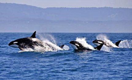 Avvistate orche all'Isola D'Elba, nuotano a largo di Portoferraio