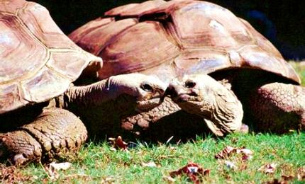 Scoperta maxi tartaruga discendente da specie estinta